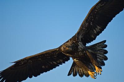 Bald Eagle 0013