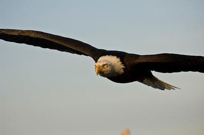 Bald Eagle 0033