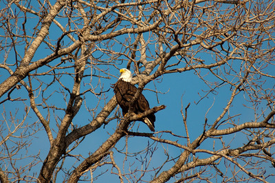 eagle, Bartlesville, Oklahoma