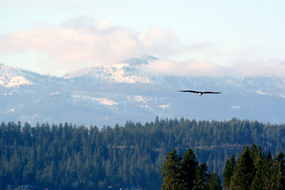 Eagle with Snow covered Mts.