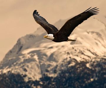 Bald Eagle 0018