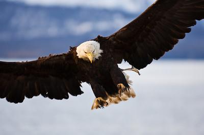 Bald Eagle 0014