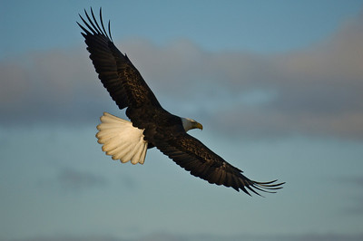 Bald Eagle 0034