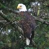 Elamar Eagle