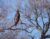 juvenile bald eagle?  Lower Klamath Wildlife Refuge