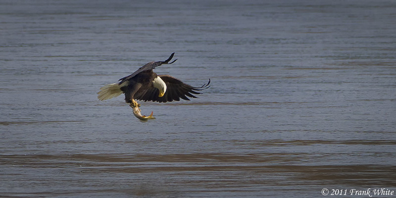 Mature bald eagle with fish.  Taken 11/13/11