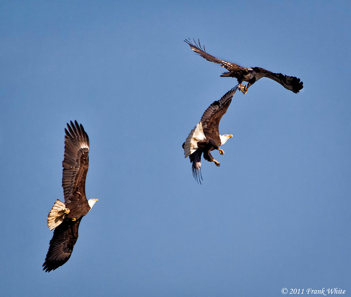 Bald eagles in mock combat.