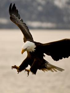 Bald Eagle 0019