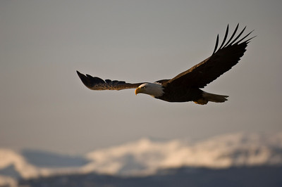 Bald Eagle 0024