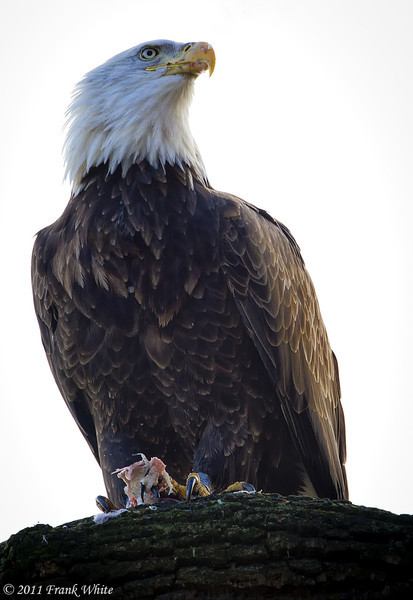 Mature bald eagle with the remains of his lunch.  Taken 11/13/11