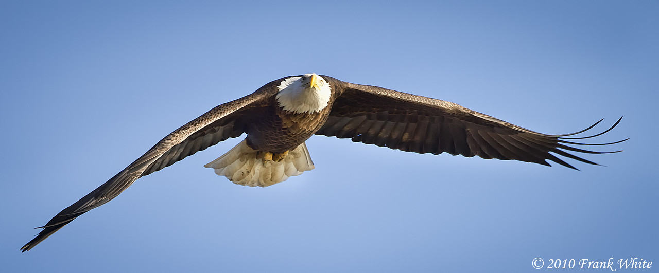 Bald Eagle, taken at Conowingo Dam, MD