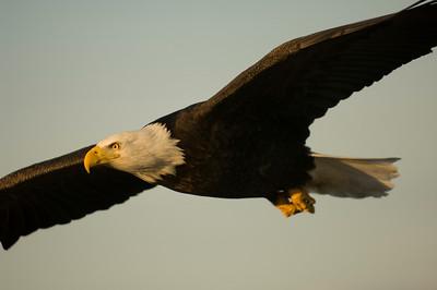 Bald Eagle 0027