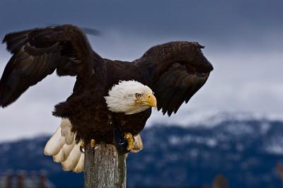 Bald Eagle 0017