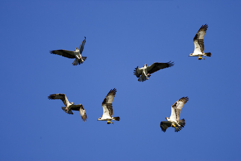 composite from 5 consecutive osprey shots
