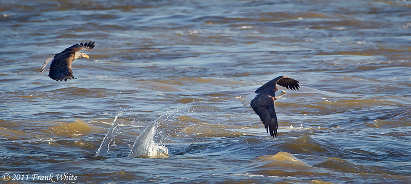 Eagles fighting over a fish. The lead eagle just dropped his fish - see the splash?