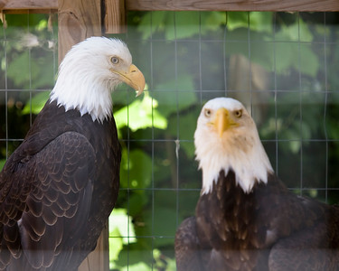Bald eagles too injured to fly are rehabilitated at Wild Bird Center.  It takes 600 rats a year to feed them.