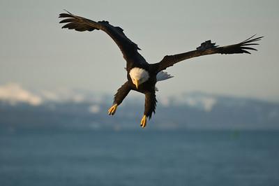 Bald Eagle 0032