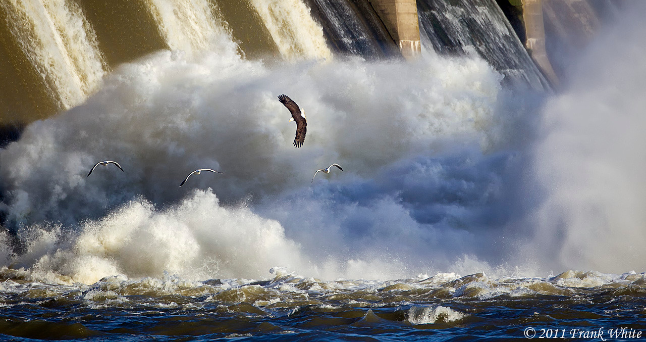 Mature bald eagle flying over the dam spillway