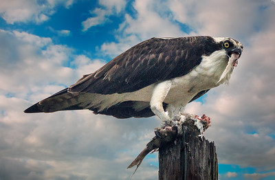 Osprey devours fish