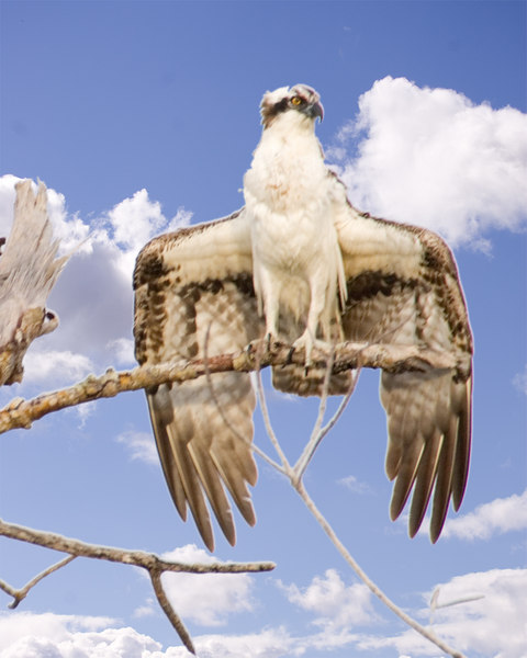 Osprey with wings spread like anhinga.  Sky was blown out grey and replaced.