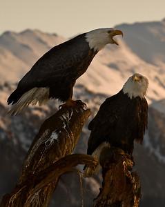 Bald Eagle 0038