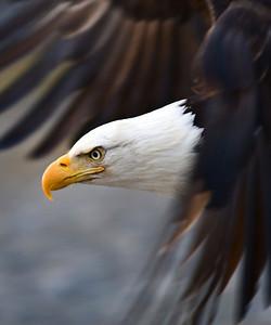 Bald Eagle 0003