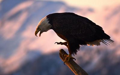 Bald Eagle 0010