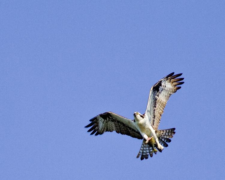 Osprey iwth something valuable