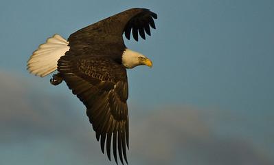 Bald Eagle 0036