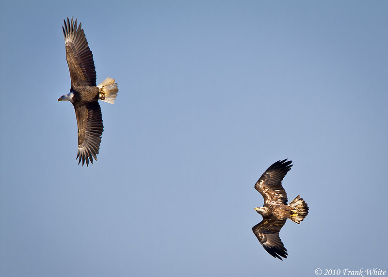 Bald Eagles, taken at Conowingo Dam, MD