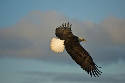 Bald Eagle 0035