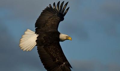 Bald Eagle 0012