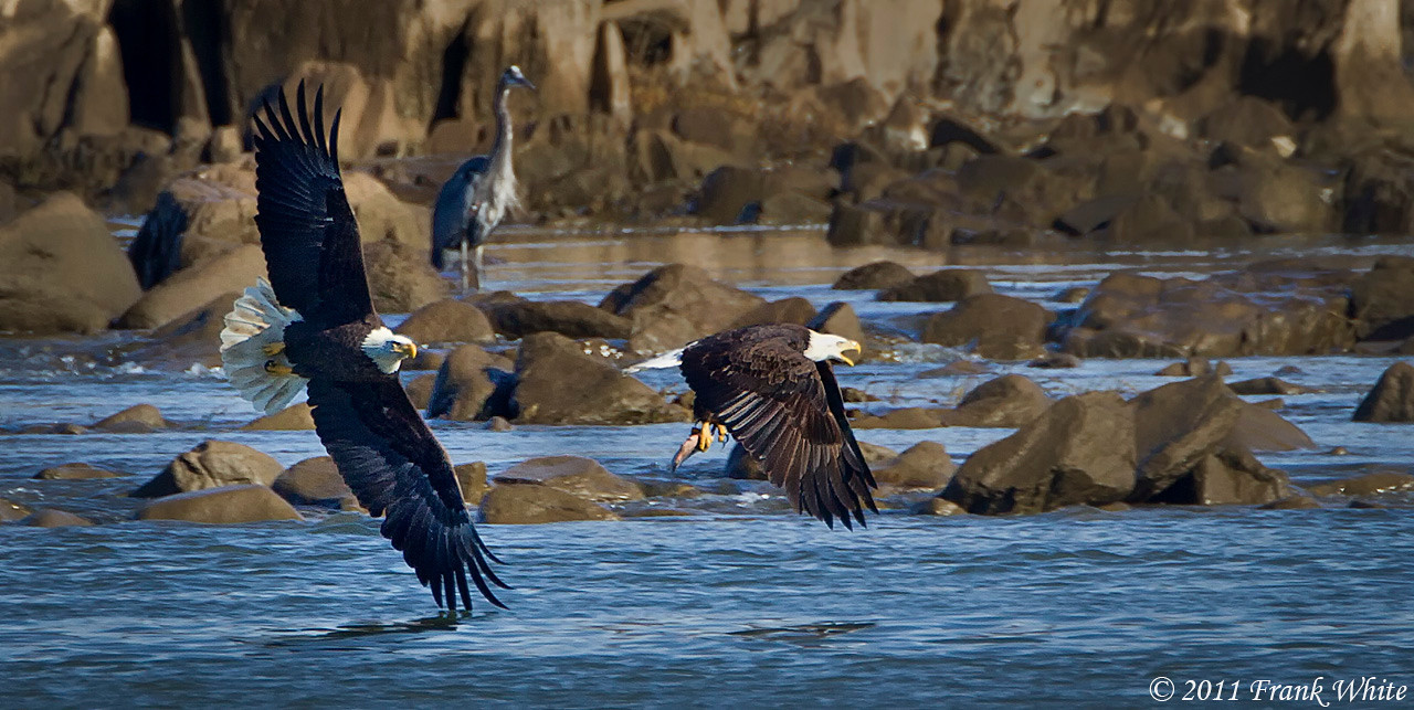 Eagles fighting over a fish. Notice the great blue heron in the background?