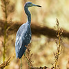 Little Blue Heron (transitioning to adult plumage)