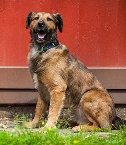 Niles was visciously attacked by another dog, and was almost dead in the streets when PJ found him. He was given veterinary care, and has fully healed, and been adopted.