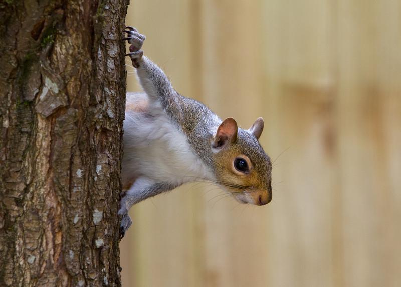 Eastern Gray Squirrel<br /> 06 JUN 2013