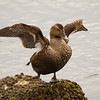 Common Eider (female)
