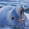 Humpback whale with tracking device