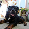 "Ebony the Rottweiler and current owners, Dave and Diane Willson, have taken a complicated journey to end up together.<br /> For more photos and a video of Ebony, go to  <a href=""http://www.dailycamera.com"">http://www.dailycamera.com</a>.<br /> Cliff Grassmick / June 15, 2011"