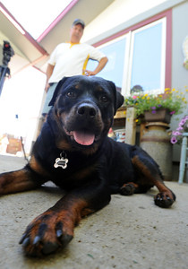 Ebony the Rottweiler and current owners, Dave and Diane Willson, have taken a complicated journey to end up together. For more photos and a video of Ebony, go to www.dailycamera.com. Cliff Grassmick / June 15, 2011