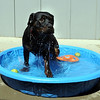 "Ebony Loves the pool.<br /> Ebony the Rottweiler and current owners, Dave and Diane Willson, have taken a complicated journey to end up together.<br /> For more photos and a video of Ebony, go to  <a href=""http://www.dailycamera.com"">http://www.dailycamera.com</a>.<br /> Cliff Grassmick / June 15, 2011"