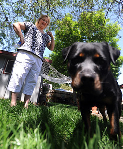 Diane Willson looks over Ebony at their Longmont home on Wednesday. Ebony the Rottweiler and current owners, Dave and Diane Willson, have taken a complicated journey to end up together. For more photos and a video of Ebony, go to www.dailycamera.com. Cliff Grassmick / June 15, 2011