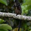 Black-mantledTamarin