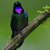 Tourmaline Sunangel Hummingbird