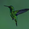 Western Emerald Hummingbird