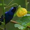 Masked flowerpiercer