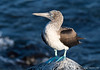 Blue-footed Booby (Sula nebouxii)