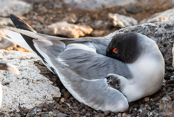 Swallow-tailed gull chick tucked in safely (Creagrus furcatus)