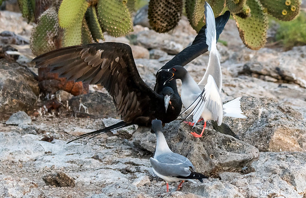 Swallow-tailed gulls (Creagrus furcatus) defending their nest from an invading Frigatebird