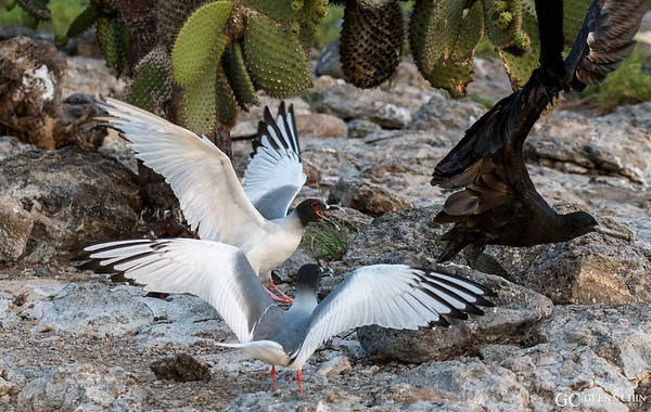 Swallow-tailed gulls (Creagrus furcatus) defending their nest from an invading Frigatebird